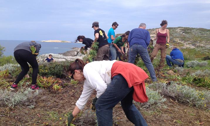I Sbuleca mare : arrachage des griffes de sorcière à Ile Rousse le 24 novembre