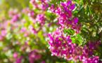 Lutte contre la Xylella Fastidiosa : recensement des polygales à feuilles de myrte