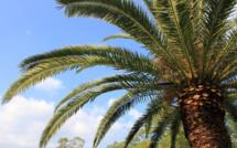 Prévention et traitement du charançon rouge des palmiers